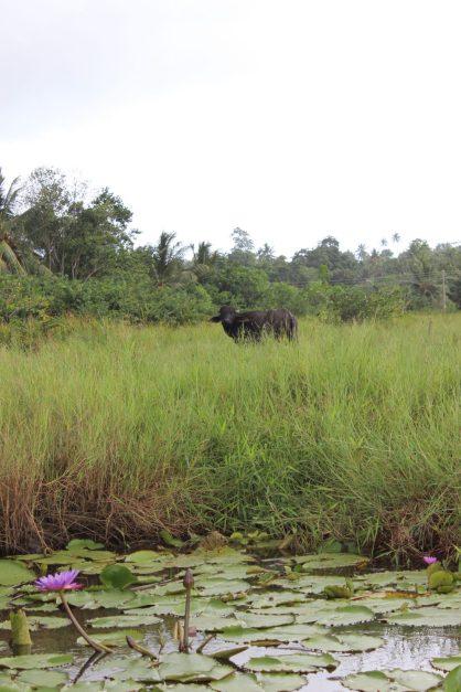 Water buffalo, Sri Lanka