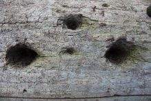 C/U of fallen tree with woodpecker holes.