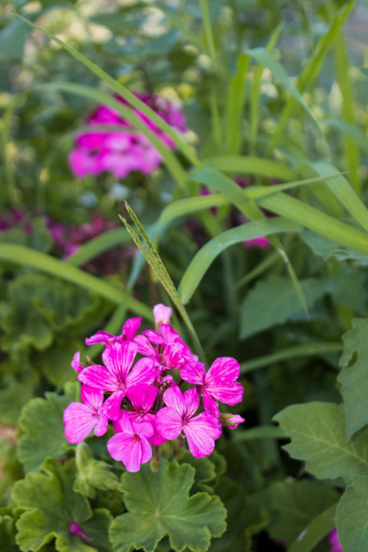 Flowers, no idea what kind - Skopelos