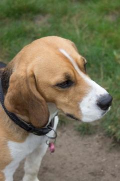 Rogue Beagle