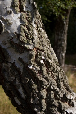 SILVER BIRCH TWO