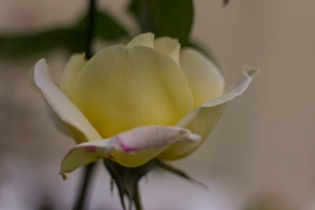 DELICATE, YELLOW ROSE