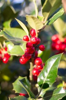 Holly Berries - big close up