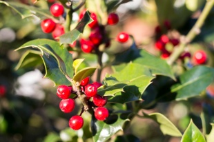 Holly Berries - close up