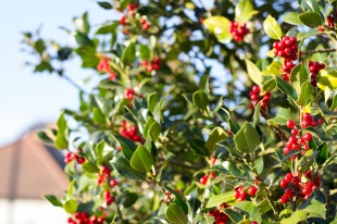 Holly Berries - wide