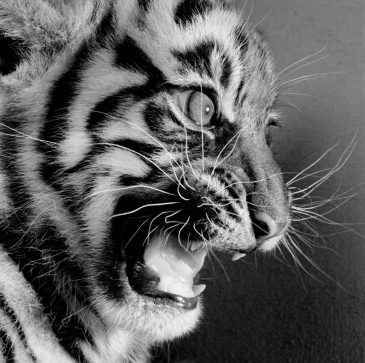 Black and white photograph of a tiger cub snarling by Michael O'Neill