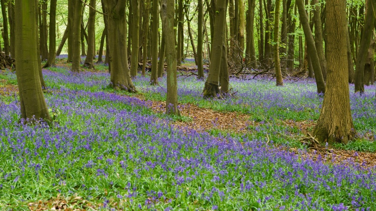 Bluebells, Ashridge Estate, 2015