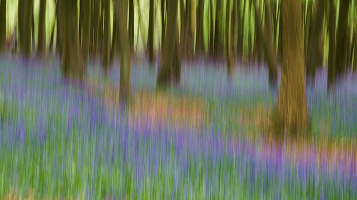 Bluebells_ICM,_Ashridge_Estate,_2015