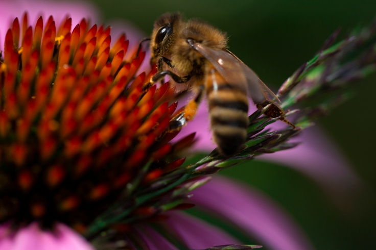 echinacea and honey bee_MG_9583
